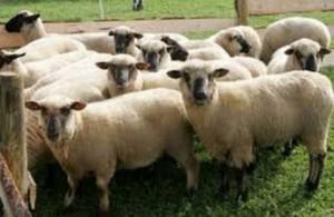 Latvijas aitas