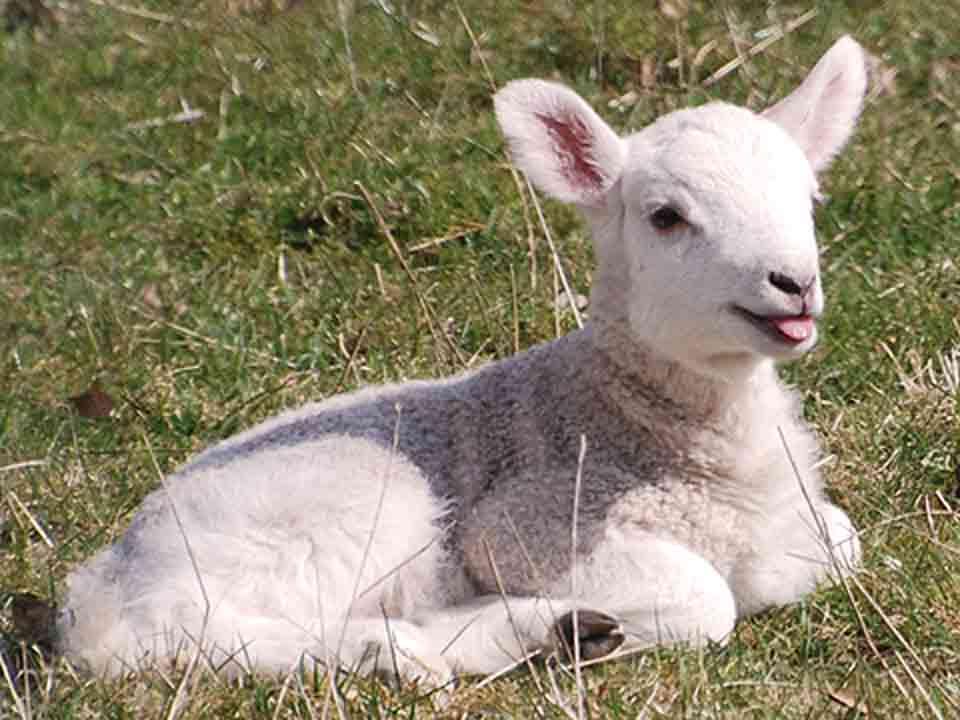 lambs03ll