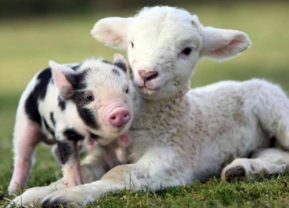 pig-and-lamb
