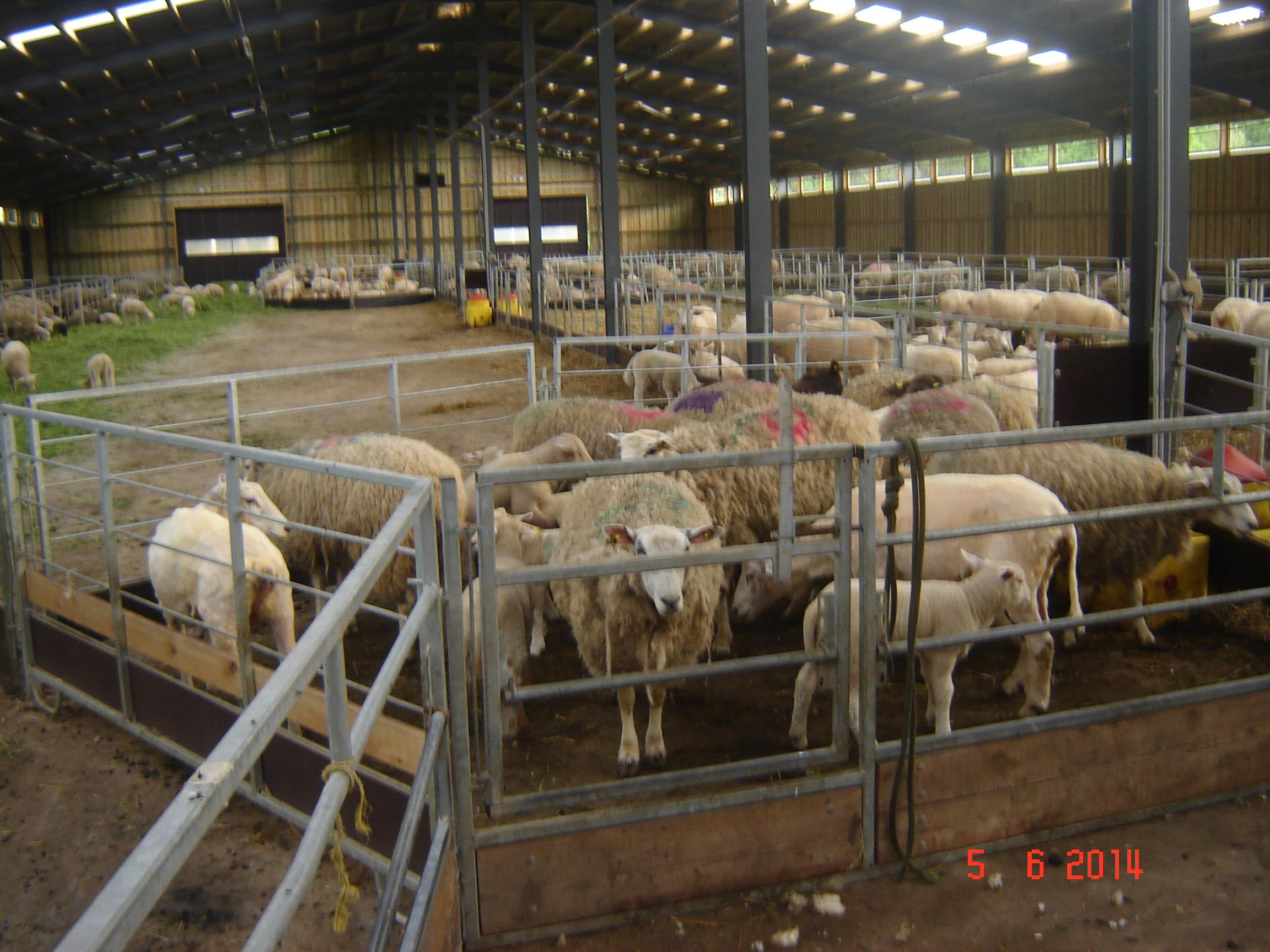 Cērpamās aitas