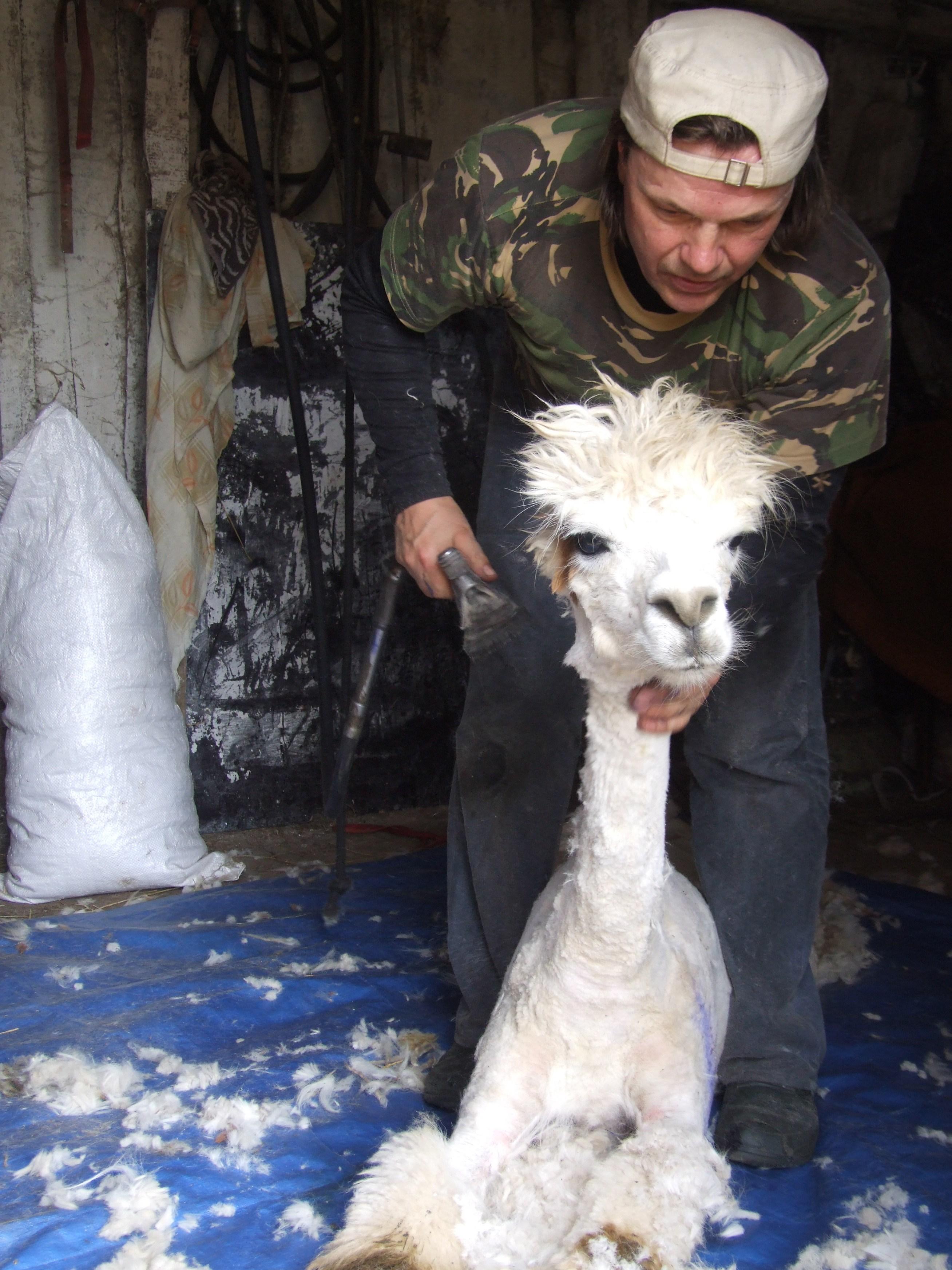 Iesildam roku ar alpaku cirpšanu.