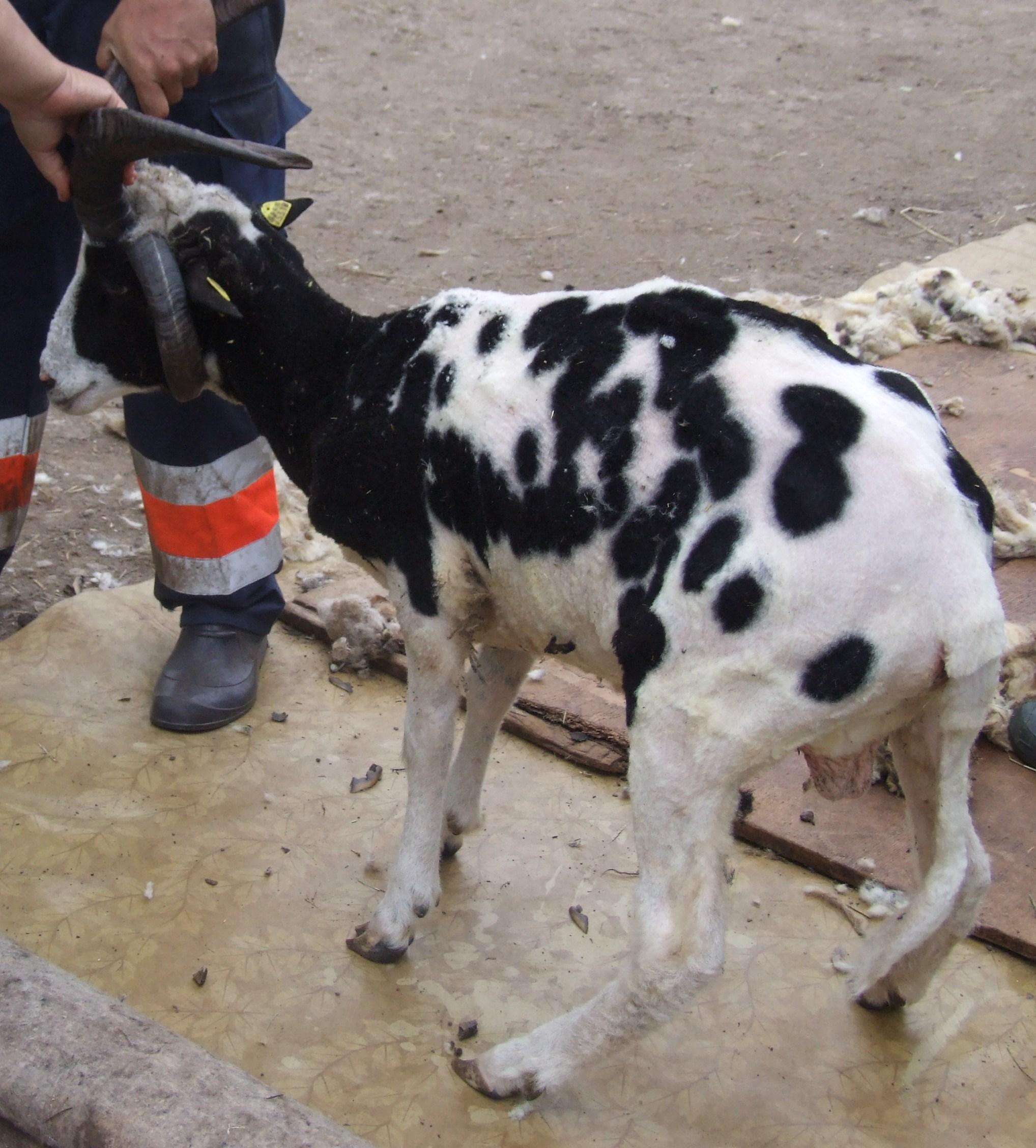 Pēc cirpšanas pavisam sakautrējies sv. jēkaba aitu puisis.